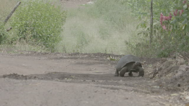 vidéos et rushes de galapagos giant tortoise walking on road - animals in the wild