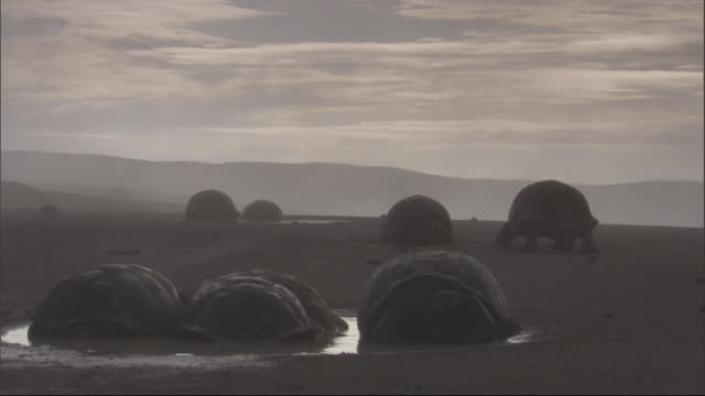 Galapagos giant tortoises huddle together in a puddle while one walks away in the distance. Available in HD.