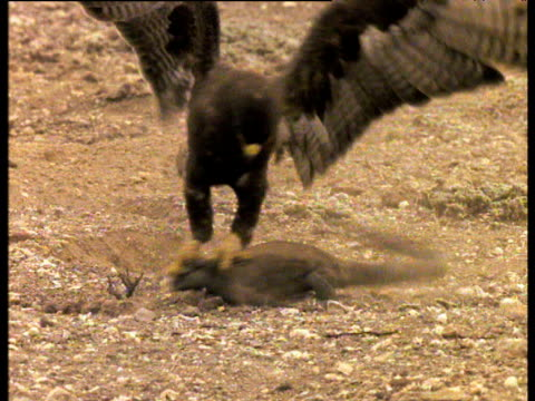 Galapagos hawk attacks marine iguana, clutches onto its head as it struggles to escape