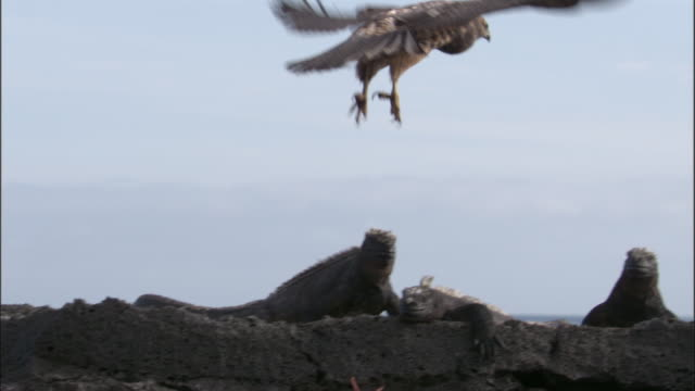 galapagos hawk flies from perch to perch landing near marine iguanas and sally lightfoot crabs, fernandina, galapagos islands available in hd. - getting out stock videos & royalty-free footage