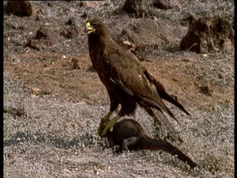Galapagos hawk on marine iguana's head trying to carry it off, iguana walks around with hawk clutching it's head, Galapagos