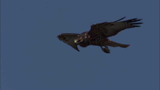 vídeos y material grabado en eventos de stock de galapagos hawk soars in blue sky. - halcón