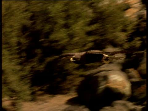 galapagos hawk swoops and glides over rocky coast, galapagos - 空気力学点の映像素材/bロール