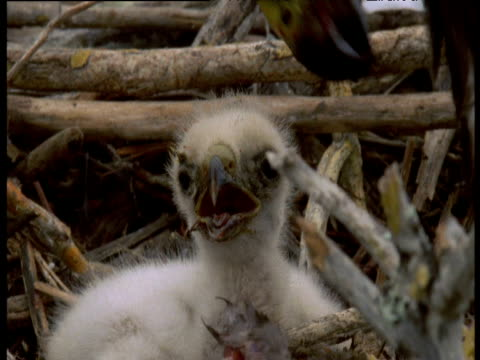 """vidéos et rushes de galapagos hawk tries to feed chicks with overlarge pieces of iguana, galapagos - """"bbc natural history"""""""