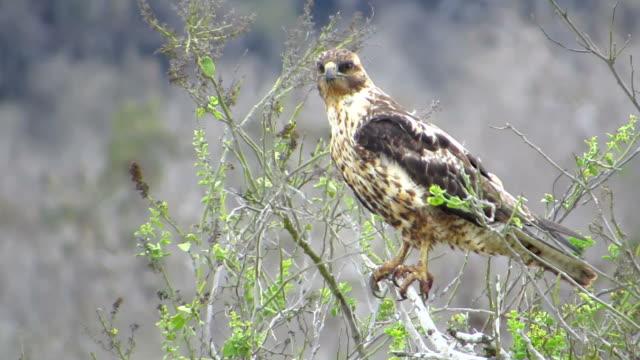 Galapagos-Falke