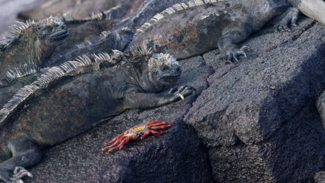 Galapagos Iguana and Sally Light Foot Crab