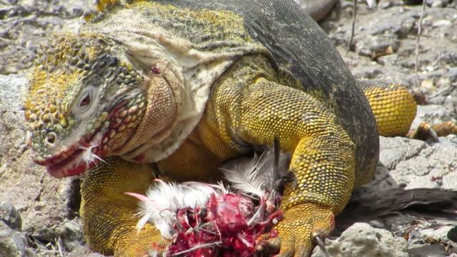 Galapagos iguana eat a bird.