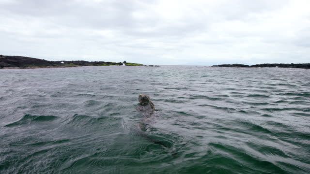 Galapagos Iguana Swimming