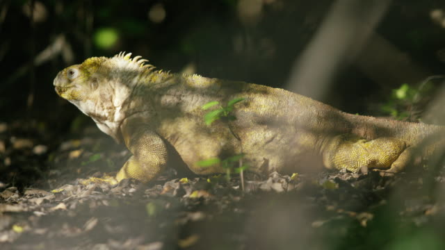 galapagos iguana - iguana stock videos & royalty-free footage