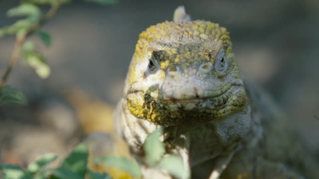 galapagos iguana - galapagos islands stock videos & royalty-free footage
