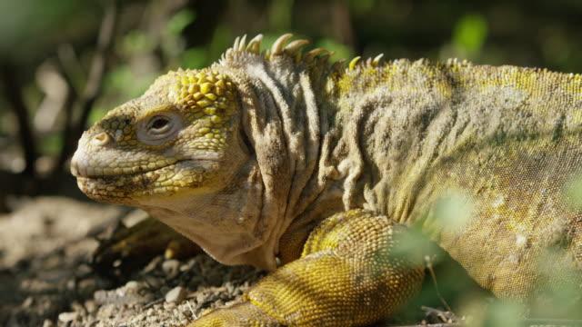 galapagos iguana - galapagos islands stock videos & royalty-free footage