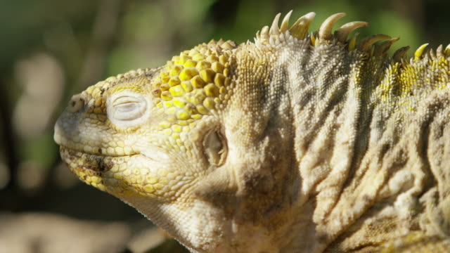 galapagos iguana - reptile stock videos & royalty-free footage