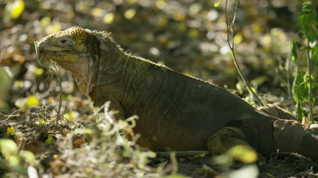 stockvideo's en b-roll-footage met galapagos iguana - infaden
