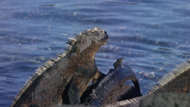 galapagos iguana - focus on background stock videos and b-roll footage