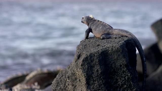 vídeos de stock, filmes e b-roll de galapagos iguana - grupo pequeno de animais