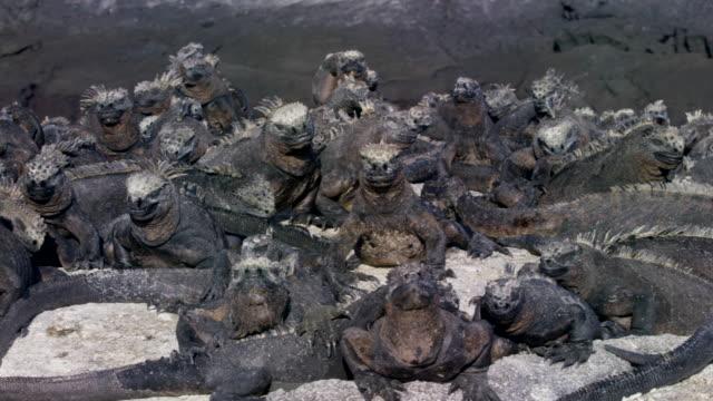 galapagos iguanas - iguana stock videos & royalty-free footage