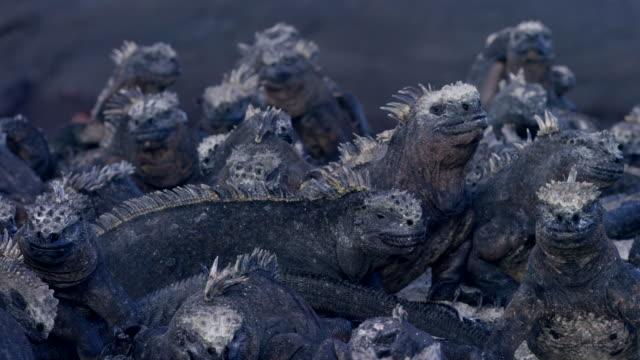 galapagos iguanas - ガラパゴス諸島点の映像素材/bロール