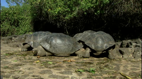 general views wildlife on santa cruz; close up of tortoise's clawed foot / back view of tortoise & tail / tortoise along / close up of head of giant... - landschildkröte stock-videos und b-roll-filmmaterial