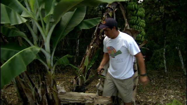 general views wildlife on santa cruz; farmer hacking at banana tree with machete as collecting banana crop / farmer cutting bunch of bananas from... - バナナ点の映像素材/bロール