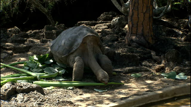 vídeos de stock, filmes e b-roll de general views wildlife on santa cruz keeper putting leaves and shoots in enclosure / tortoise 'lonesome george' eating large green shoot / close up... - cágado réptil