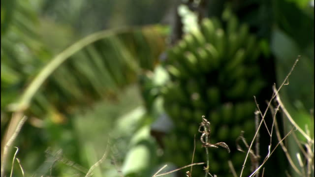 general views wildlife on santa cruz long shot of port pull back banana trees waving in the breeze / bananas growing on tree / general view of... - peanut food stock videos & royalty-free footage