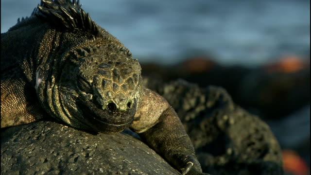 wildlife on santa cruz island; various shots of large iguanas on rocks - good shots - ガラパゴス諸島点の映像素材/bロール