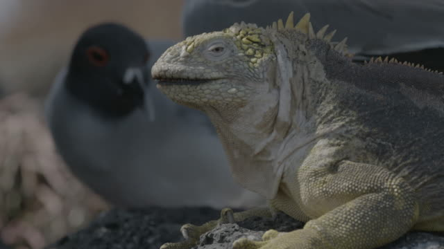 galapagos land iguana and shallow tailed gull. - galapagos land iguana stock videos & royalty-free footage