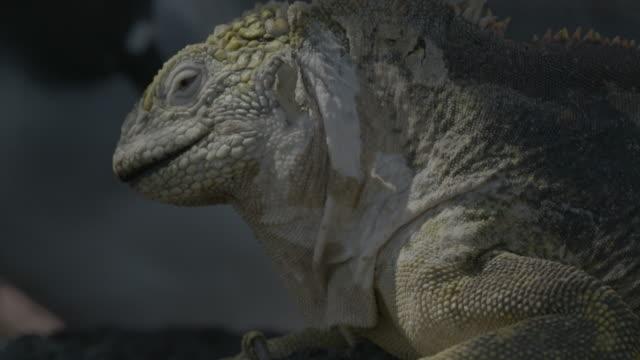 galapagos land iguana and swallow-tailed gulls resting on rock - galapagos land iguana stock videos & royalty-free footage