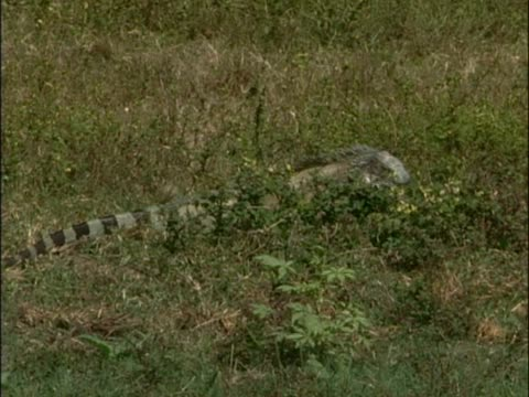 vídeos y material grabado en eventos de stock de galapagos land iguana eating plants in a field - iguana de los galápagos