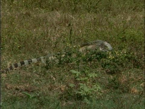 galapagos land iguana eating plants in a field - galapagos land iguana stock videos & royalty-free footage
