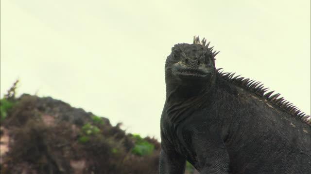 ms pan galapagos land iguana (conolophus subcristatus) on rock at sea shore / punta espinosa, galapagos islands, ecuador - galapagos land iguana stock videos & royalty-free footage