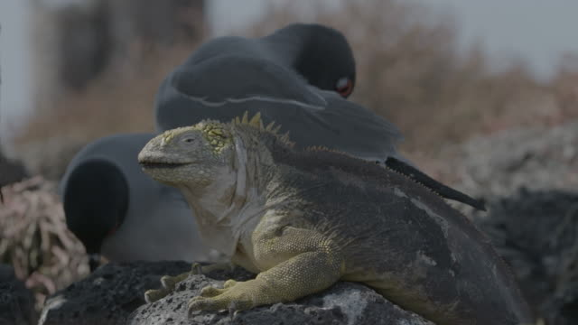 galapagos land iguana resting on rock - swallow tailed gull stock videos & royalty-free footage