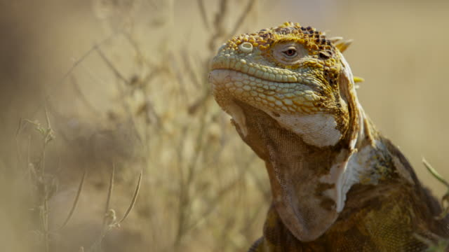 galapagos land iguana - zoology stock videos and b-roll footage