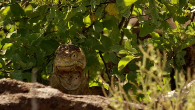 galapagos land iguana - galapagos land iguana stock videos & royalty-free footage