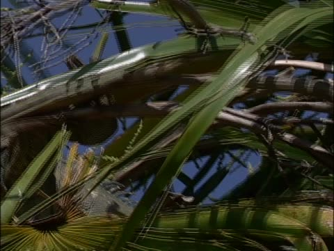 galapagos land iguanas on a tree - galapagos land iguana stock videos & royalty-free footage