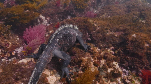 galapagos marine iguana eating sea moss undersea - seaweed stock videos & royalty-free footage