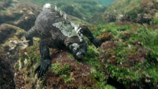vídeos y material grabado en eventos de stock de galapagos marine iguana - grupo mediano de animales