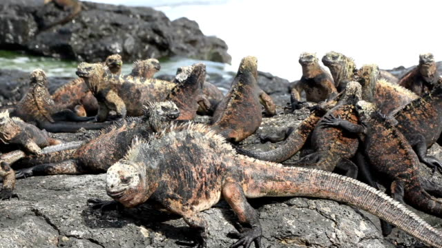 galapagos marine iguanas hd video. isabella island. ecuador - lizard stock videos and b-roll footage