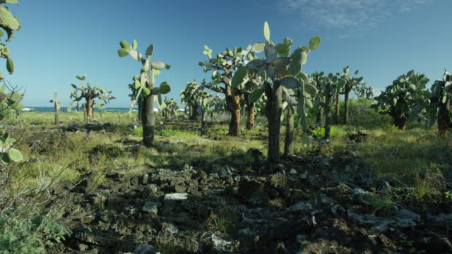 galapagos - opuntia cactus forest - 1 minute or greater stock videos & royalty-free footage