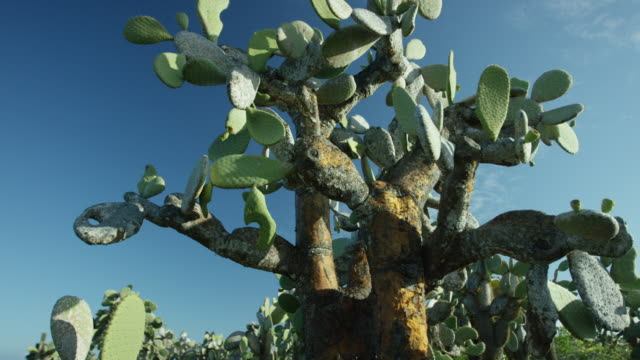 galapagos opuntia cactus forest - prickly pear cactus stock videos & royalty-free footage