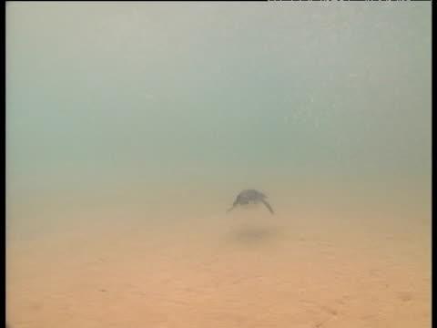 Galapagos penguin chases fish shoal, Galapagos