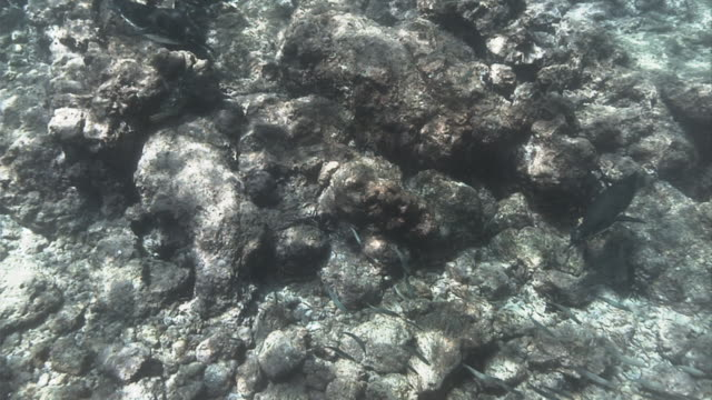 A Galapagos penguin swims near the rocky ocean floor. Available in HD.