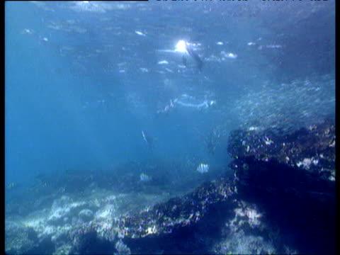 Galapagos penguins swim after darting shoal of fish prey