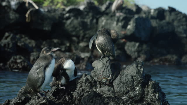 galapagos penguins - galapagos islands stock videos & royalty-free footage