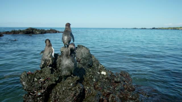 galapagos penguins - galapagos islands stock videos & royalty-free footage