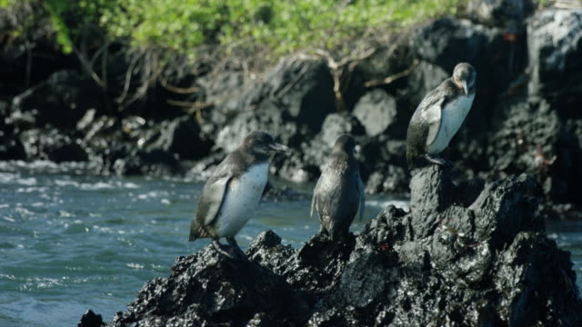 galapagos penguins - crab stock videos & royalty-free footage