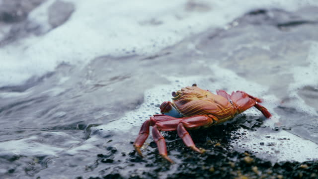 galapagos sally lightfoot crab - crab stock videos & royalty-free footage