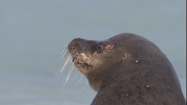 a galapagos sea lion bears bite wounds on its face. available in hd. - wounded stock videos & royalty-free footage