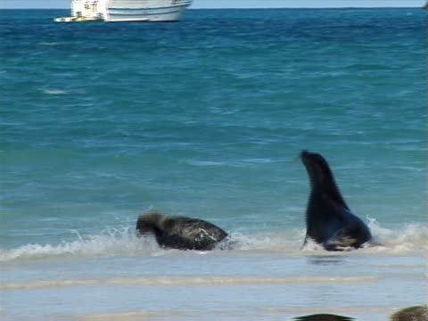 Galapagos sea lion chasing another