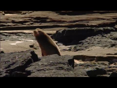 galapagos sea lion (zalophus californianus wollebaeki) crawling across rocky coastline / galapagos islands - rocky coastline stock videos & royalty-free footage